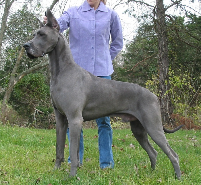 GD1 The Great Dane Dog Is A Well-mannered Family Companion