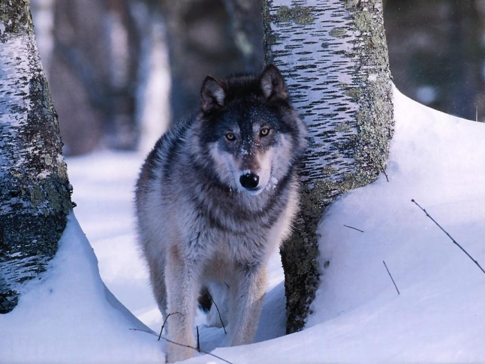 Gray-Wolf-3 Gray Wolf Is A Keystone Predator Of The Ecosystem