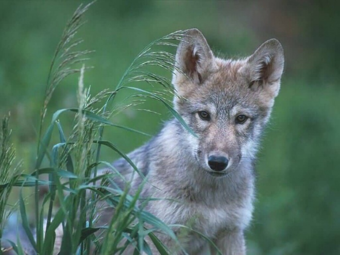 Gray_Wolf_Pup_Quebec-1024x768-bandwidth-thief Gray Wolf Is A Keystone Predator Of The Ecosystem