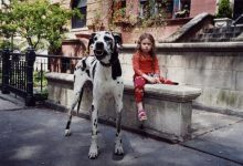 Photo of The Great Dane Dog Is A Well-mannered Family Companion