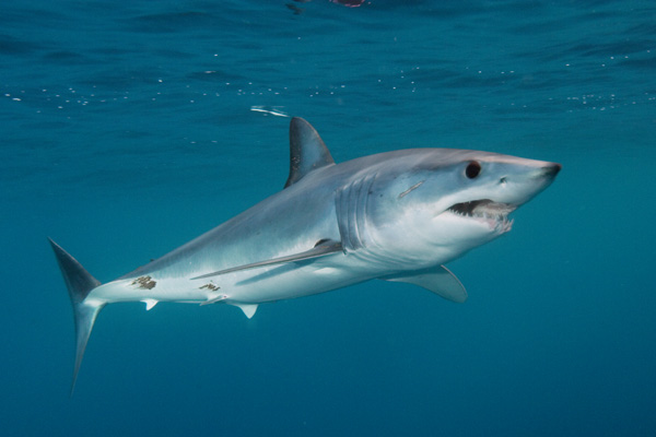 Mako-Sharks-images Why Mako Sharks The Fastest Among Other Sharks?