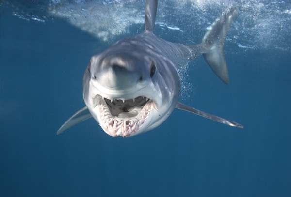 Mako_Shark_4c456b38f08a3 Why Mako Sharks The Fastest Among Other Sharks?