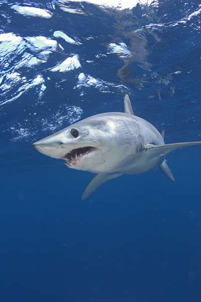 Mako_Shark_4c456c8b4825d Why Mako Sharks The Fastest Among Other Sharks?