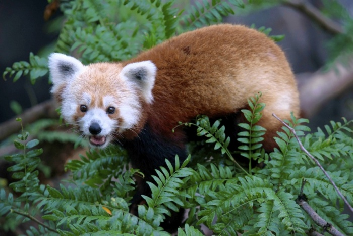 MissingRedPanda_0624-WX104 The Red Pandas Are Generally Quiet Except Some Tweeting Or Whistling Communication Sounds