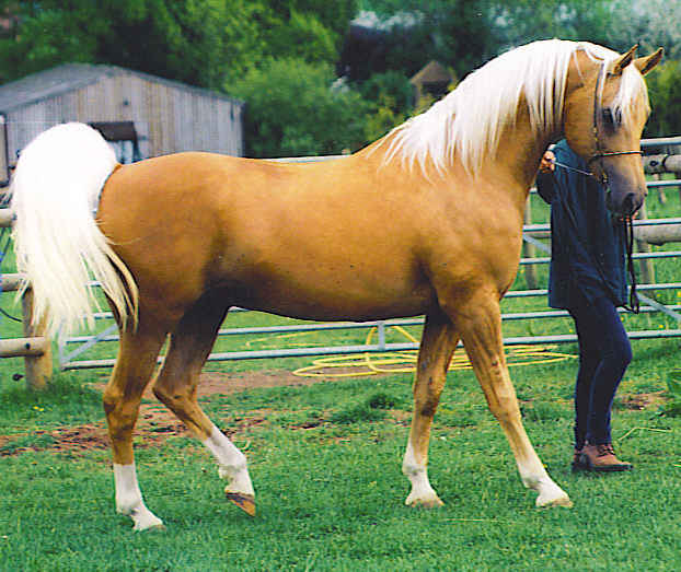 Shulay-Faberge3 Top 20 Most Beautiful Horses In The World