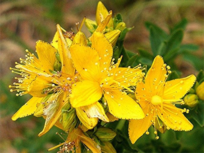 St-Johns-wort-Perforate-Hypericum-perforatum Is There a Natural Healing for Depression?