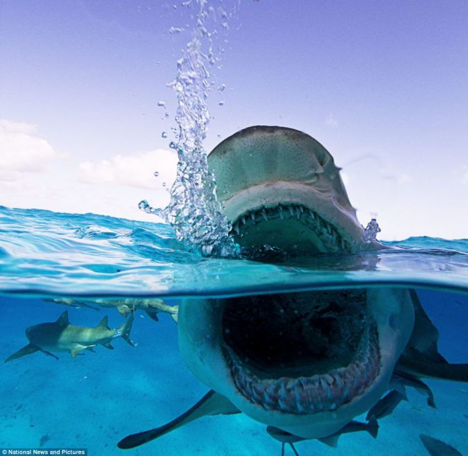 article-2293293-18A6C771000005DC-497_964x941 Why Mako Sharks The Fastest Among Other Sharks?