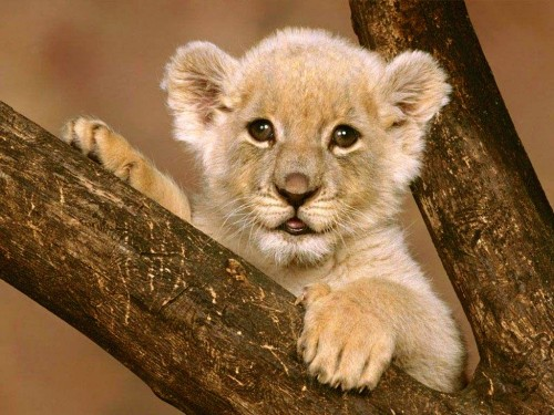 blissfully-cute-baby-animals-lion-cub-12 Top 30 Cutest Animals
