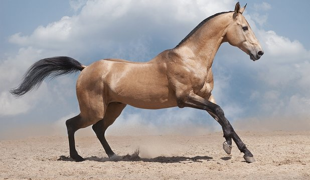 cal-akhal-teke-cover Top 20 Most Beautiful Horses In The World