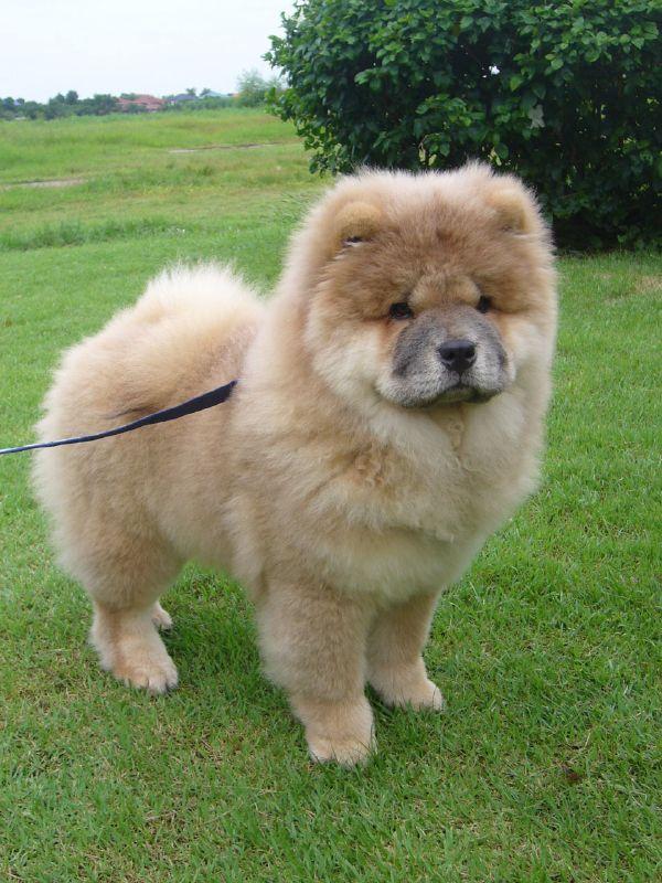 chow-chow-dog7 Chow-Chow Dog Is Smart, Loyal And Good Companion