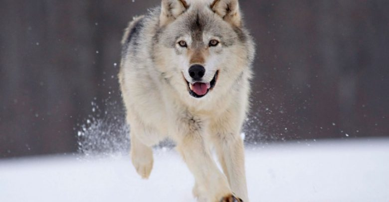 Photo of Gray Wolf Is A Keystone Predator Of The Ecosystem