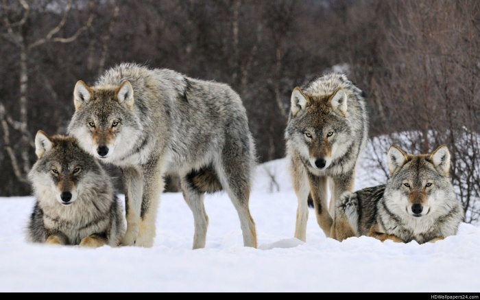 gray_wolves_norway-wide Gray Wolf Is A Keystone Predator Of The Ecosystem