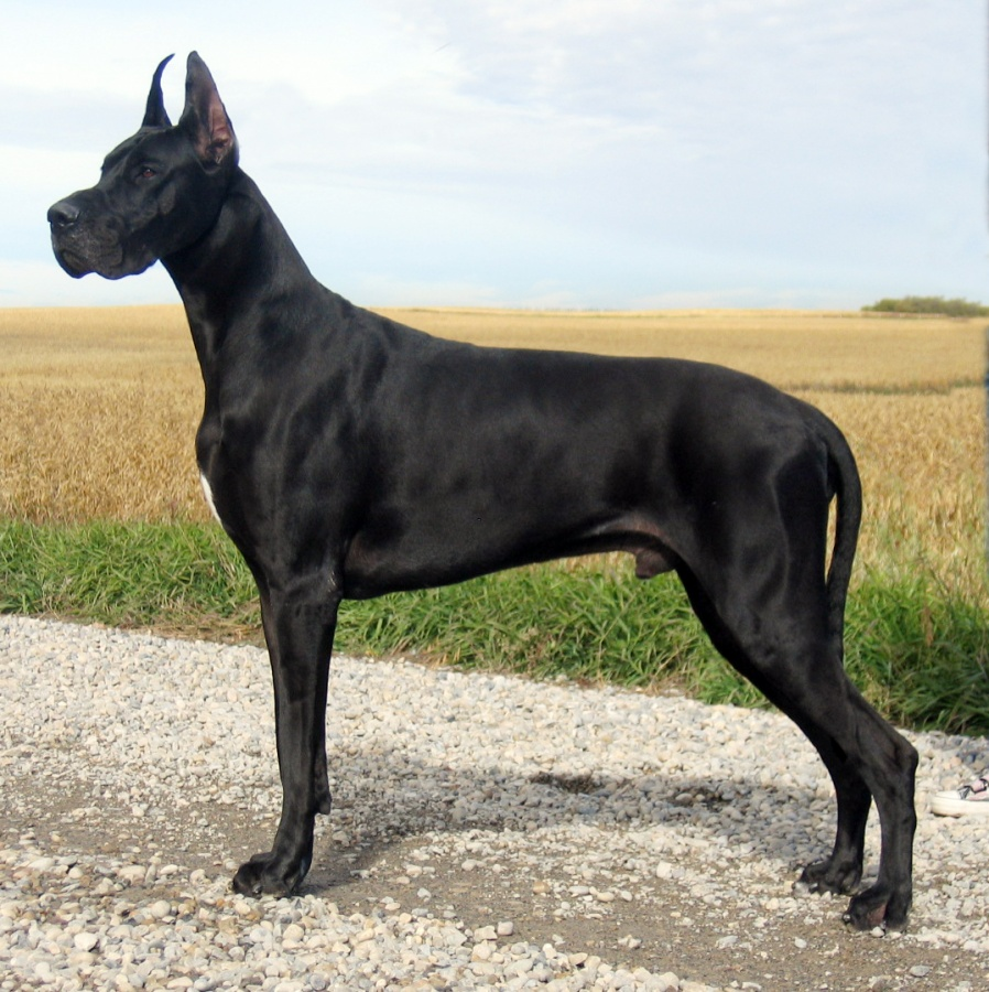 great+dane+dog The Great Dane Dog Is A Well-mannered Family Companion