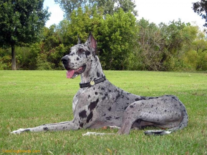 great_dane_116_14 The Great Dane Dog Is A Well-mannered Family Companion