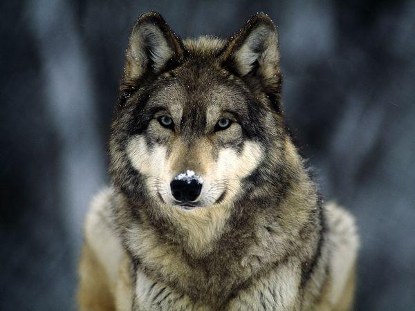 grey-wolf_565_600x450 Gray Wolf Is A Keystone Predator Of The Ecosystem