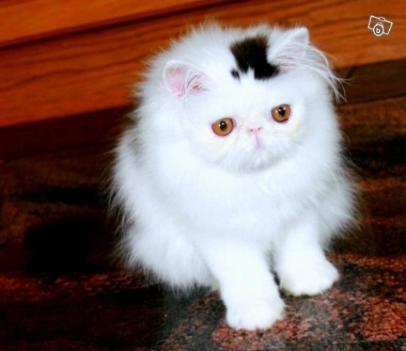l-Just-a-cat-with-a-top-hat Top 30 Cutest Animals