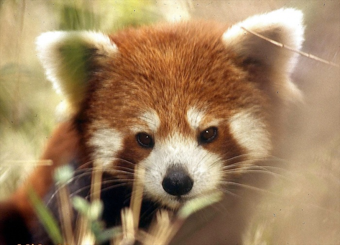 main-panda-fat The Red Pandas Are Generally Quiet Except Some Tweeting Or Whistling Communication Sounds
