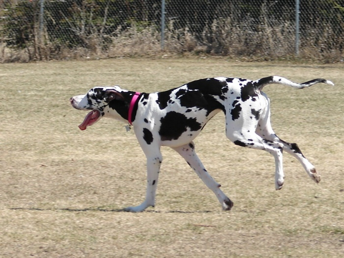 running-great-dane-dog-wallpaper The Great Dane Dog Is A Well-mannered Family Companion