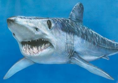 shortfin_mako_shark1m Why Mako Sharks The Fastest Among Other Sharks?