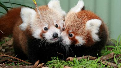 Photo of The Red Pandas Are Generally Quiet Except Some Tweeting Or Whistling Communication Sounds