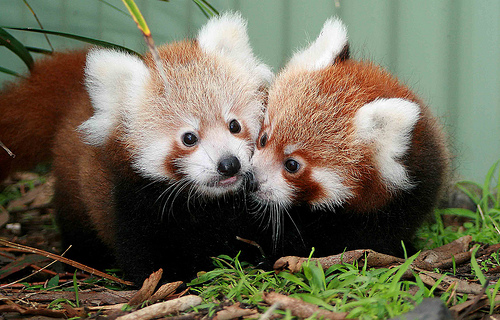 tumblr_lk8708vALl1qi81ioo1_500 The Red Pandas Are Generally Quiet Except Some Tweeting Or Whistling Communication Sounds