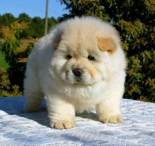 Chow Chow Dog Is Smart Loyal And Good Companion Pouted Com