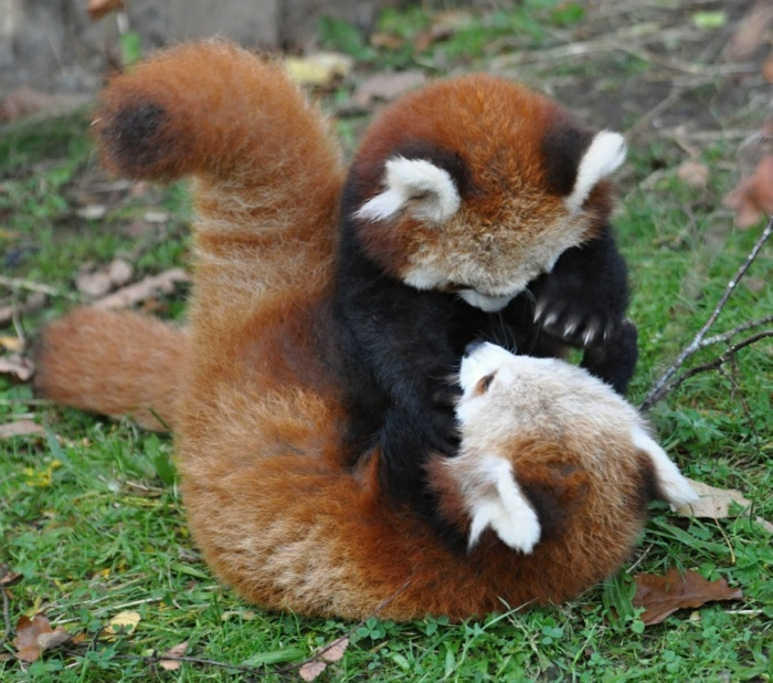 tumblr_mdxdhyPG4c1rk4xuso1_1280 The Red Pandas Are Generally Quiet Except Some Tweeting Or Whistling Communication Sounds