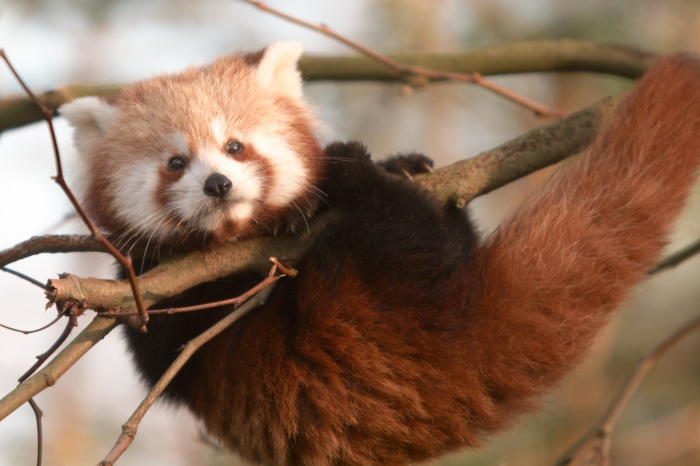 url The Red Pandas Are Generally Quiet Except Some Tweeting Or Whistling Communication Sounds
