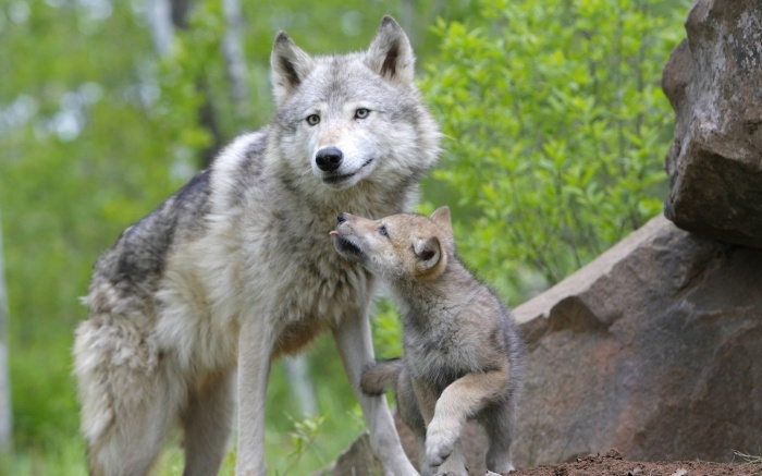 wolf-and-cub-wallpapers.1680x1050 Gray Wolf Is A Keystone Predator Of The Ecosystem