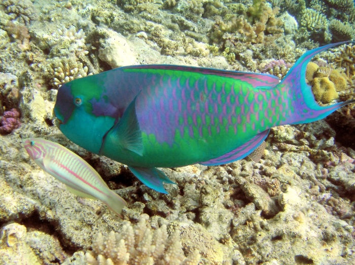 10.-rainbow-parrot-fish Top 24 Unique Colorful Creatures Around The World