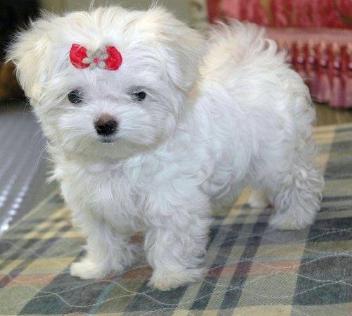 1291591127_144303209_1-Pictures-of-Maltese-puppy-ready-for-christmas-1291591127 The Breed Profile For The Maltese Dog
