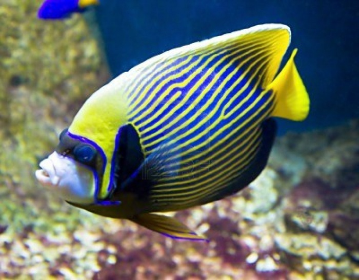 14778060-tropical-fish-fish-emperor-or-fish-angel-latin-name-pomacanthus-imperator-blue-and-yellow-colours Top 24 Unique Colorful Creatures Around The World