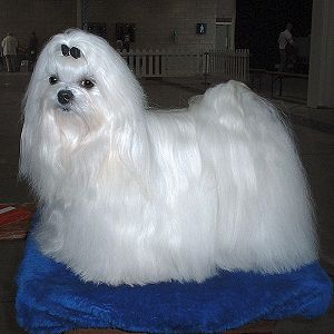 300px-Maltese_600 The Breed Profile For The Maltese Dog