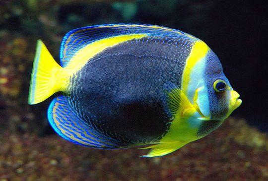 800pxchaetodontoplusduboulayi_1 Top 24 Unique Colorful Creatures Around The World