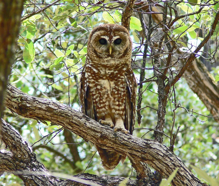 89188765_az_adult_spottted_owl Learn More And Find Out About What Makes Owls Unique
