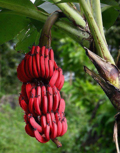 945126_467578403321340_1954240998_n Have You Ever Tried Eating Red Bananas?