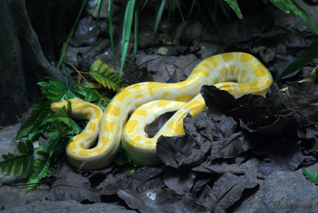 Albino_Burmese_Python Top 24 Unique Colorful Creatures Around The World