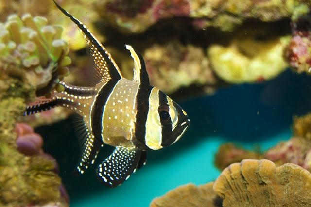 Banggai-Cardinal-Fish Top 24 Unique Colorful Creatures Around The World
