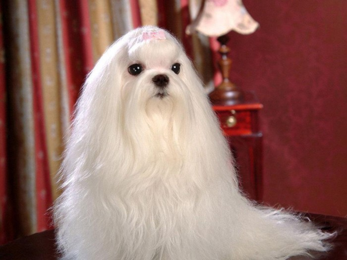 Maltese-Dogs-wallpaper-dogs-13937292-1024-768 The Breed Profile For The Maltese Dog
