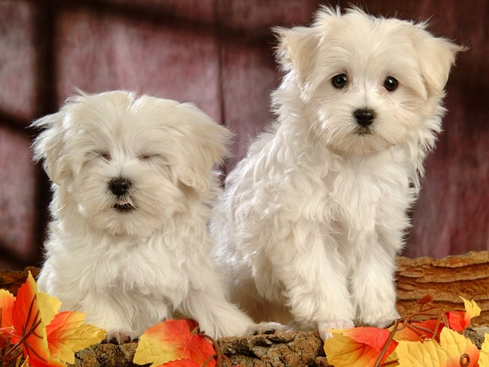 Maltese-Puppies-Wallpaper-1pups The Breed Profile For The Maltese Dog