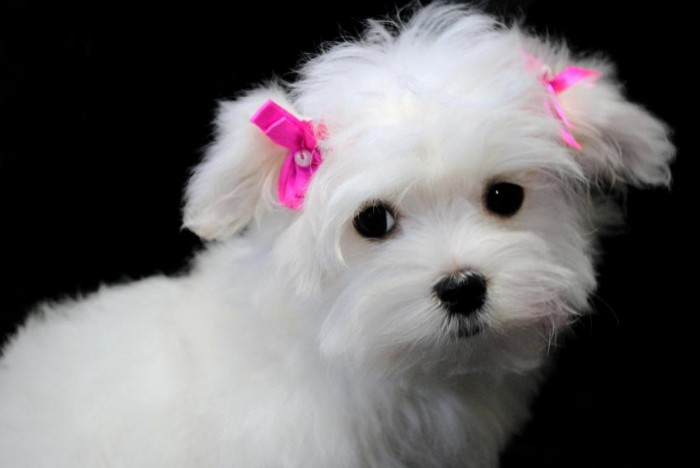 Maltese-Puppy-Star_full The Breed Profile For The Maltese Dog