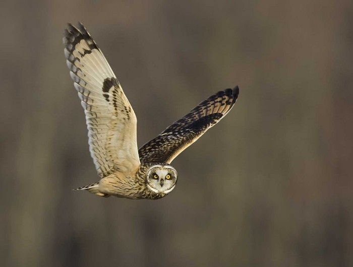 Short-eared-Owl-8386s Learn More And Find Out About What Makes Owls Unique