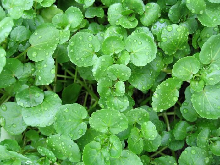 Watercress For Health Seekers, Watercress Has Bountiful Health Benefits