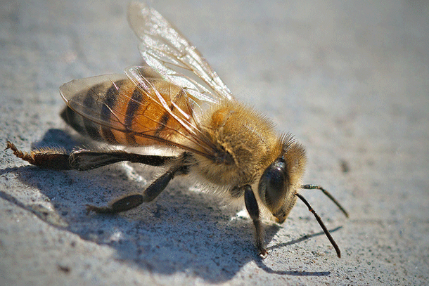 bee-1 Top 25 Most Dangerous Animals In The World