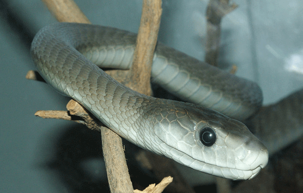 blackmamba-1 Top 25 Most Dangerous Animals In The World