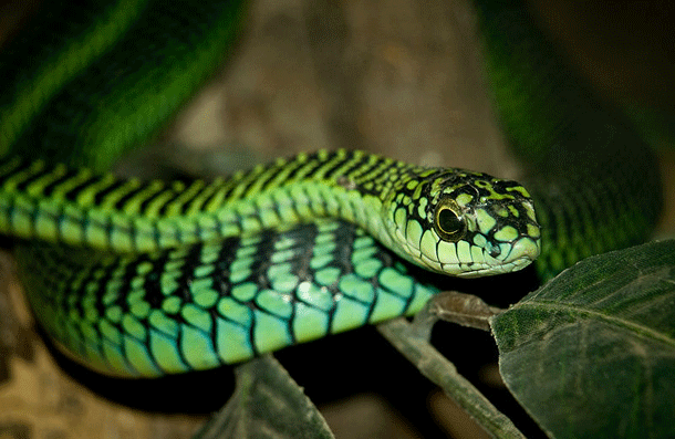 boomslang-1 Top 25 Most Dangerous Animals In The World