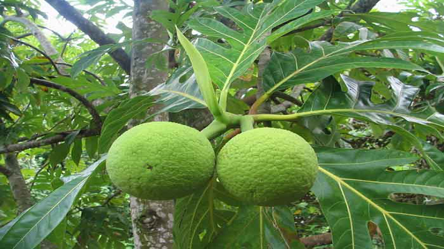 breadfruit 23 Weird Fruits Which You Probably Have Never Eaten Before, But Should
