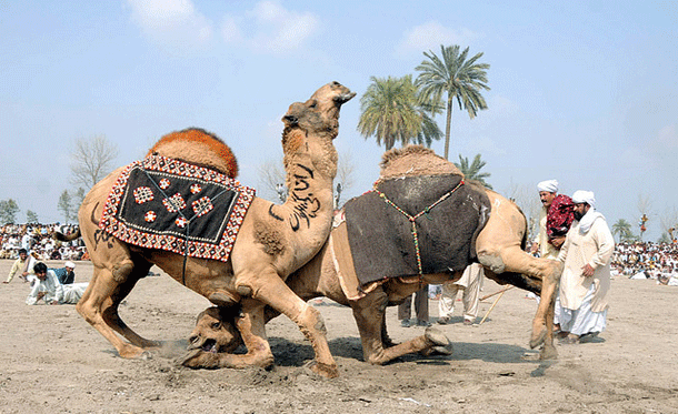 camelwrestling-1 Top 20 Most Mysterious Sports From Around The World
