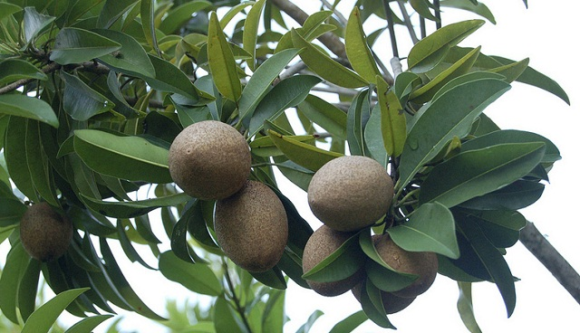 ciku 19 Weird Fruits From Asia, Maybe You Have Never Heard Of