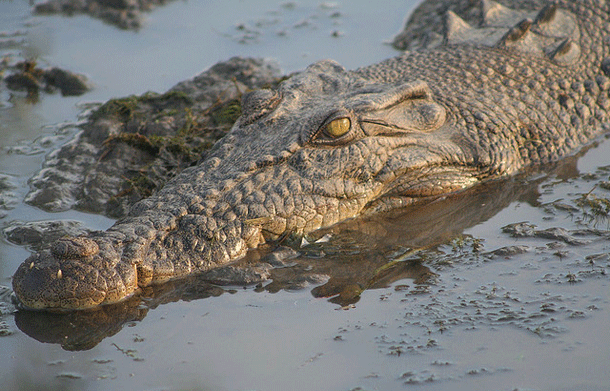 crocodile-1 Top 25 Most Dangerous Animals In The World